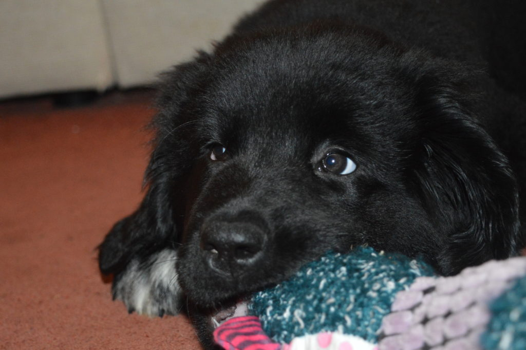 Merrie The Newfoundland Puppy has arrived!