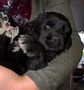 Newfoundland puppy 4 weeks old being held in arms
