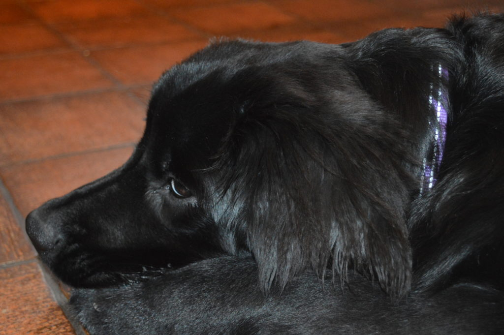 Keeping Your Newfoundland's Ears Clean and Healthy