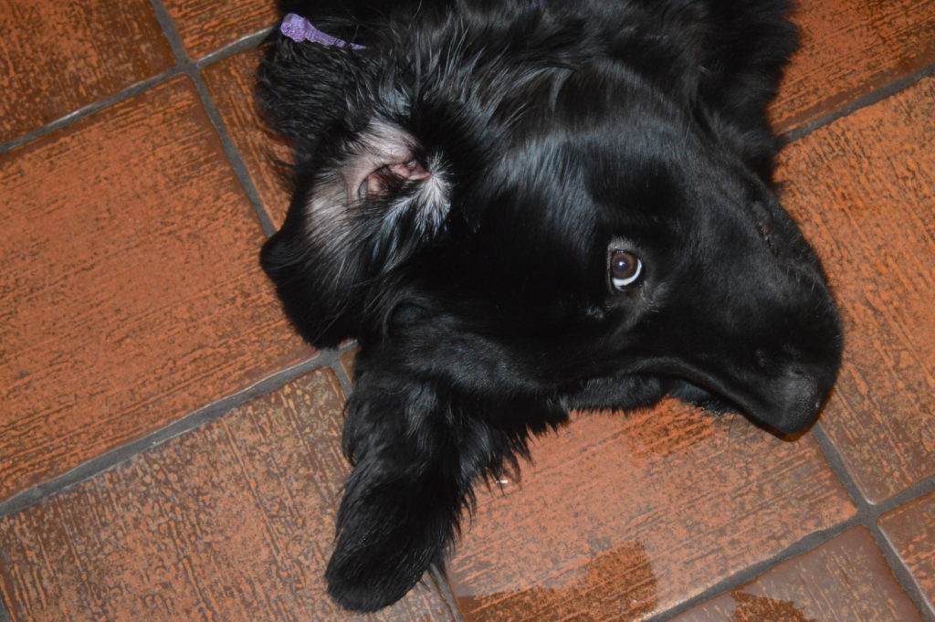 Keeping your Newfoundland's ears clean