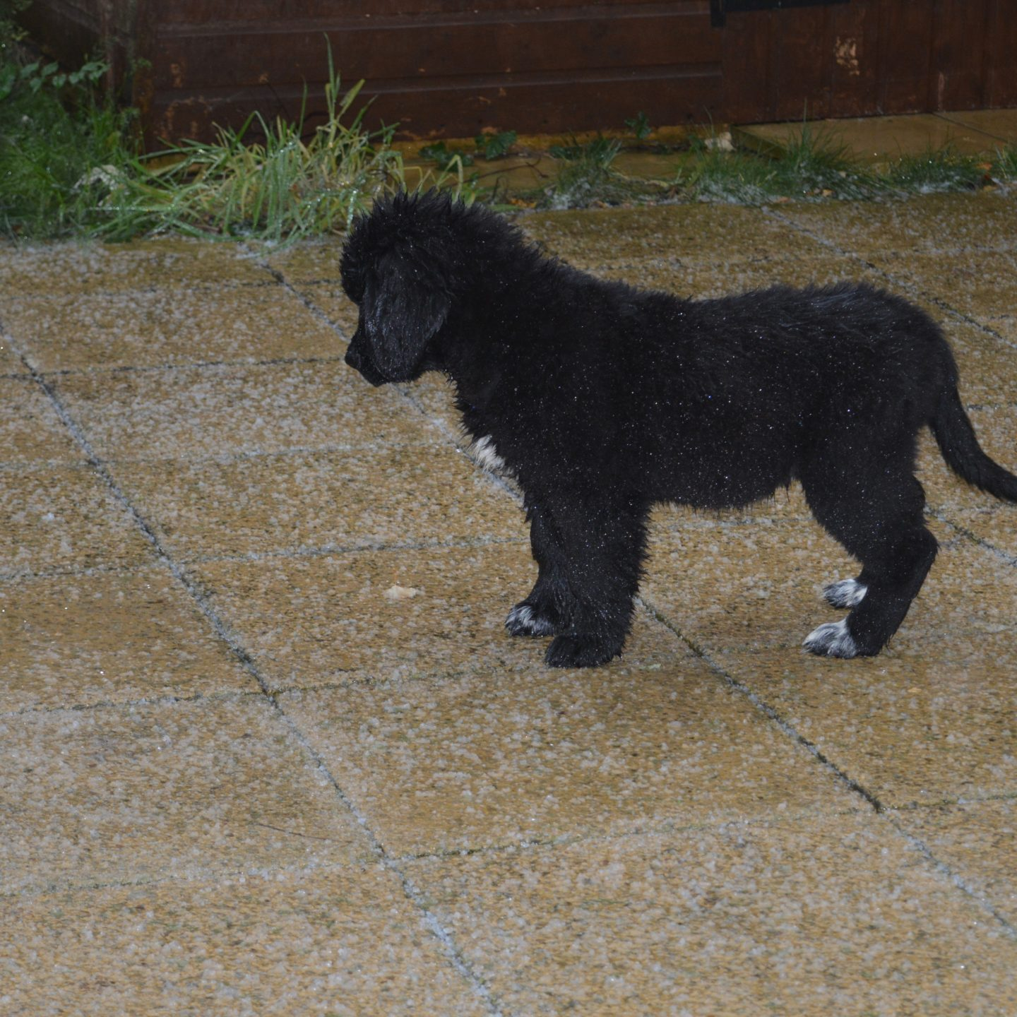 Training Your Newfoundland Puppy Early