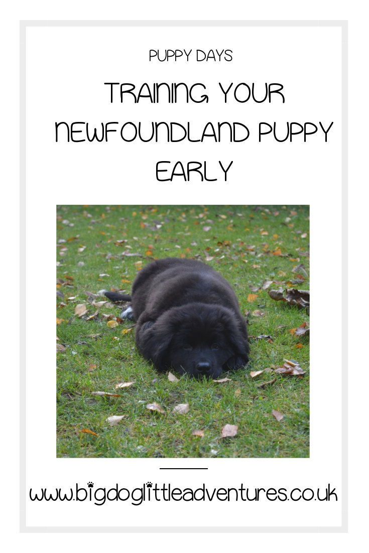 due to the size that a Newfoundland puppy gets early training is very important, your cute bundle of fluff will soon turn into a gentle giant, but if they are not trained when they are young it could be disastrous! Click through for important training tips for your giant puppy